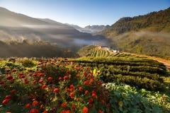 Misty morning sunrise in tea plantation at Doi Ang Khang, Chiang Royalty Free Stock Photography