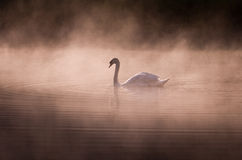 Misty morning Swan stock images