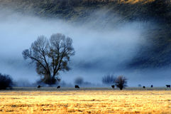 Misty Morning in Valley with Trees and Cattle Animals Royalty Free Stock Photo
