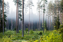 Misty morning in the woods Royalty Free Stock Image