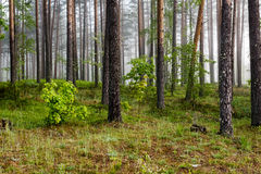Misty morning in the woods Stock Photography