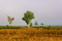 Misty morning. Young birch trees in the morning mist. In the foreground dried orange grass stock photo