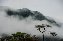 Misty mountain. And pine tree Royalty Free Stock Image