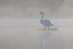 Misty Mute Swan Stock Images