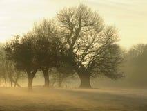 Misty oaks at sunset royalty free stock photo