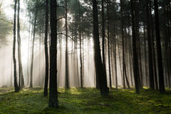 Misty old foggy forest Stock Photography