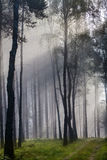 Misty old foggy forest Royalty Free Stock Image
