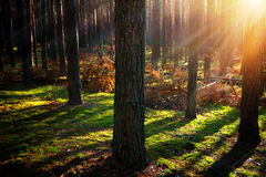 Misty Old Forest. Autumn Woods Royalty Free Stock Photos