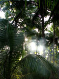 Misty Palms. Mist in palm trees in early morning in the Indian Tropics Stock Images