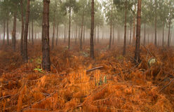 Misty Pine Forest Stock Photography