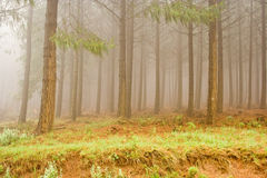 Misty Pine Forest stock foto
