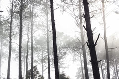Misty pine forest Royalty Free Stock Image