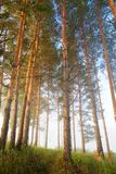 Misty pine forest at early morning light Royalty Free Stock Photo