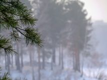 Misty pine forest in the fog in the background royalty free stock image