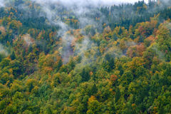 Misty pine forest on the hillside Royalty Free Stock Photos