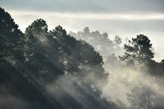 Misty pine forest on the mountain Royalty Free Stock Photo