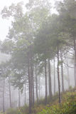 Misty pine forest Royalty Free Stock Photo