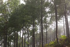 Misty pine forest Royalty Free Stock Photography