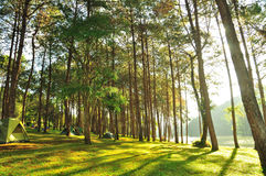 The Misty pine forest at North of Thailand, camping Stock Photos