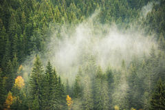 Free Misty Pine Forest On The Mountain Slope In A Nature Reserve Stock Photos - 58409533