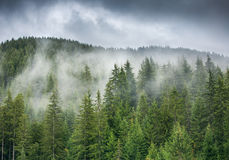 Free Misty Pine Forest On The Mountain Slope In A Nature Reserve, Sun Stock Photo - 58598570