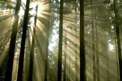 Misty pine forest with sun rays