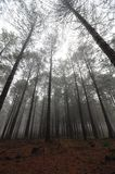 Misty Pine Forest Stock Image