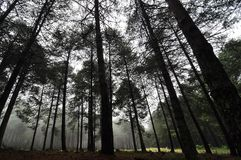 Misty Pine Forest Royalty Free Stock Photos