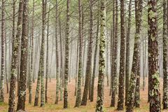 Misty pine wood Royalty Free Stock Images