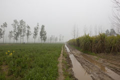 Misty Punjabi fieldscape. A muddy farm track running through arable fields on a misty morning in rural Punjab India with sugar cane and eucalyptus trees Royalty Free Stock Images