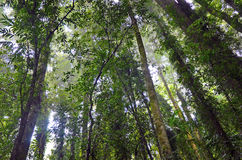 Misty rainforest trees Royalty Free Stock Photos
