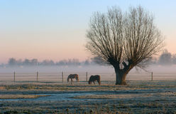 Misty Range with One Trees. A range in a misty morning with with horses grazing on Royalty Free Stock Photos