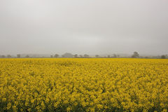 Misty rapeseed fields Royalty Free Stock Photo