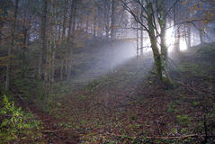 Misty rays. A dark forest in a foggy morning and some misty rays coming through the branches Royalty Free Stock Photo
