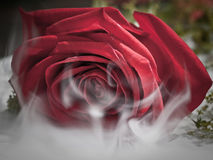 Misty Rose Royalty Free Stock Photos