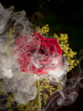 Misty Rose Stock Photos