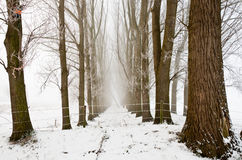 Between misty rows of trees in winter. Royalty Free Stock Images