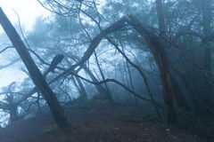 Misty scary forest  in fog Royalty Free Stock Photo
