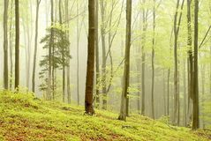 Misty spring forest in the early morning