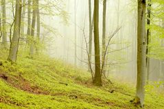 Misty spring forest scenery with beech trees Royalty Free Stock Photos