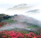 Misty spring mountain with azelea Stock Image