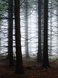 Spruce woods in the fog stock photos
