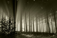 Misty spruce forest in sepia colour Royalty Free Stock Photo