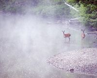Misty Stream Bucks Stock Photography