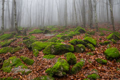 Misty, strewn with mossy boulders mountain slope in autumn beech forest Royalty Free Stock Image