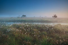Misty summer sunrise over marsh with cotton-grass Royalty Free Stock Images