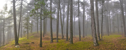 Misty sunlight. Misty  forest with green grass and sunlight Stock Images