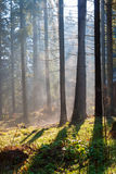 Misty sunny morning in the coniferous forest. Royalty Free Stock Photo