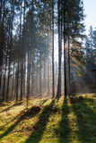 Misty sunny morning in the coniferous forest. Stock Photography