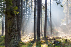 Misty sunny morning in   forest. Royalty Free Stock Images